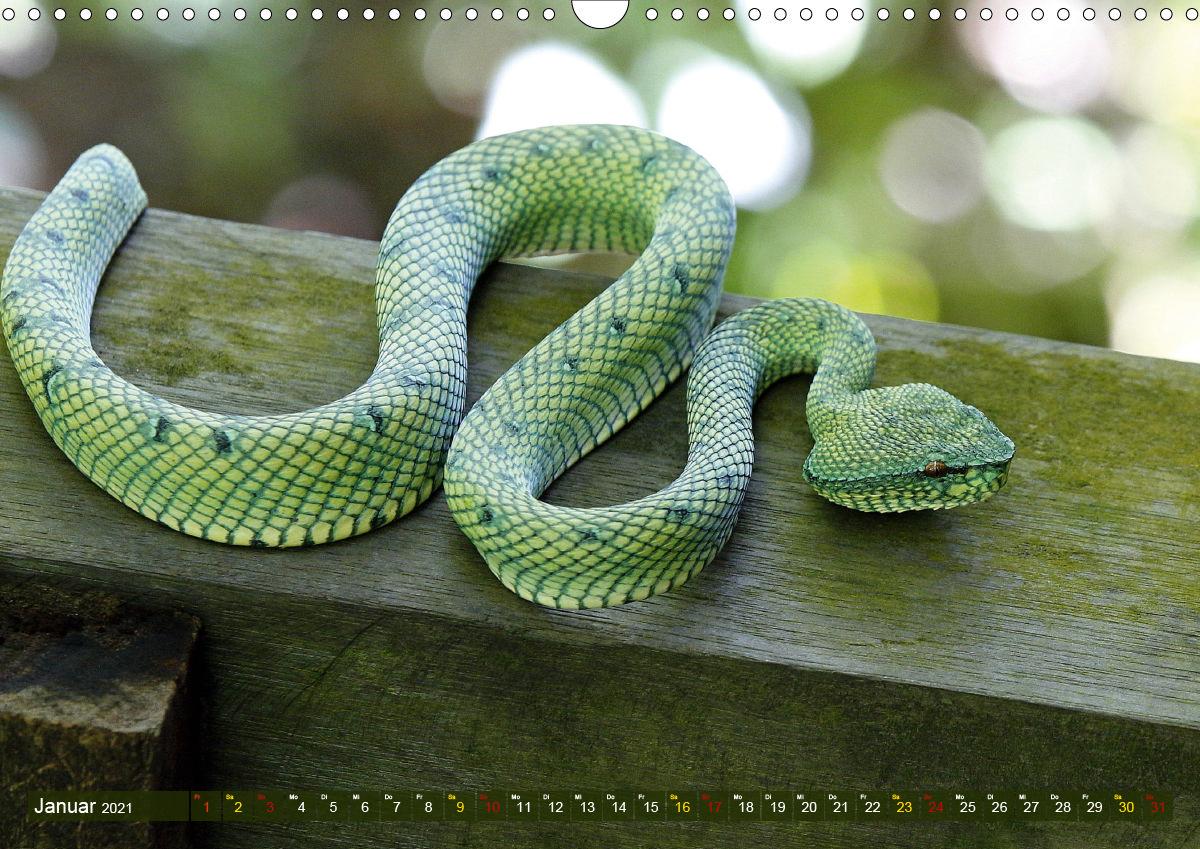 Giftschlangen Art